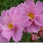 コスモス背丈1m20㎝×10本が開花しました。