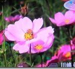 コスモス園風景のNHKテレビ放映