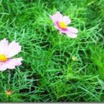 一雨毎にコスモスの背丈は伸びています(*^▽^*)。