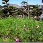コスモスは5分咲きです(*^▽^*)