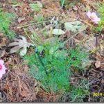 秋桜は今日の晴天で背丈が70㎝に伸びました(*^_^*)