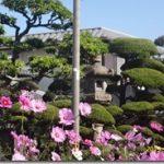 暖かい日差しの下の秋桜満開風景