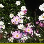 夏日の様に暖かい♥秋桜と蜂と蝶々♥